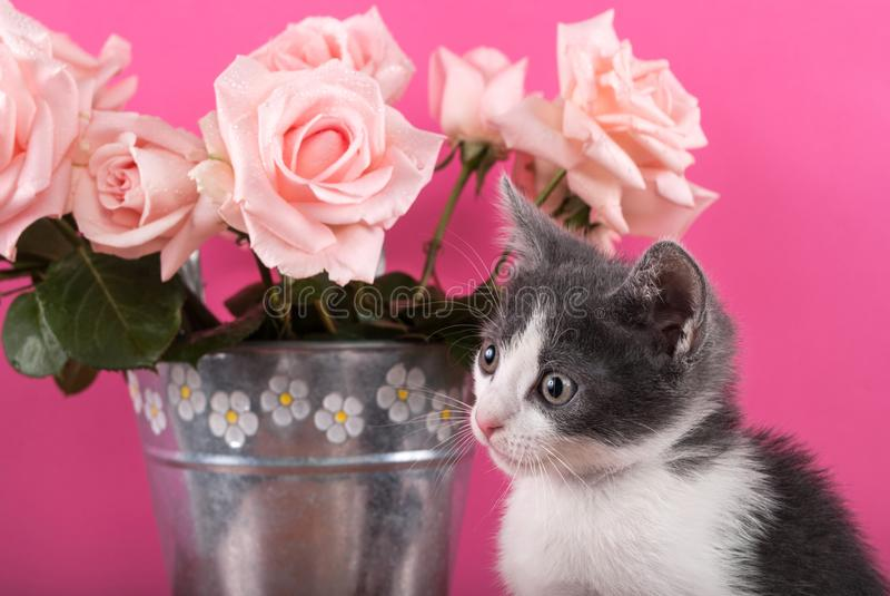 摆在玫瑰前面花束的小猫猫在花盆的 免版税图库摄影