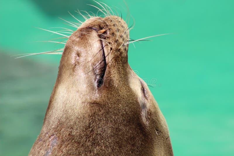 摆在的海狮在阳光下! 库存照片