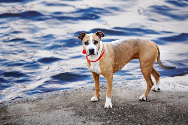 摆在美国美洲叭喇狗的狗户外 免版税库存图片