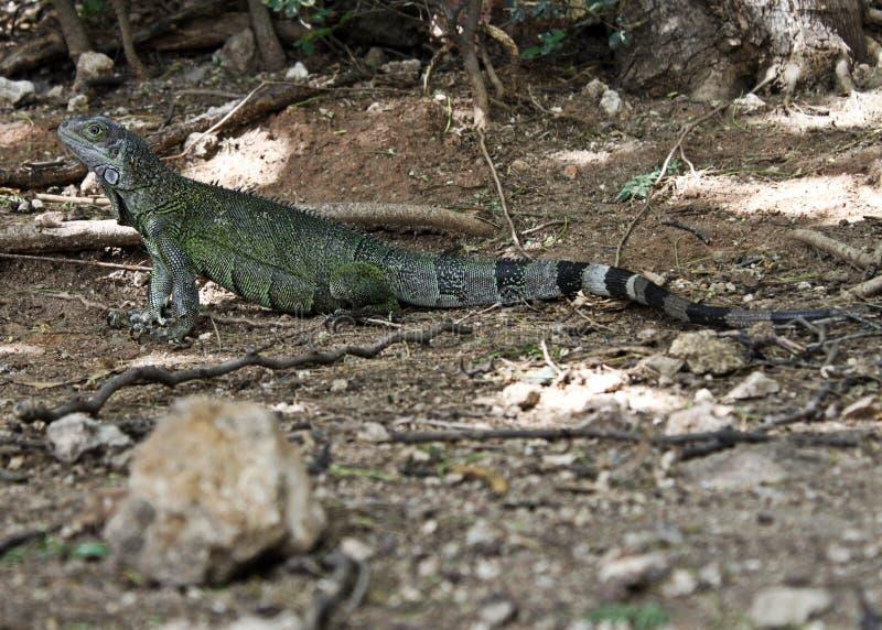摆在背景的阿鲁巴鬣鳞蜥 免版税图库摄影