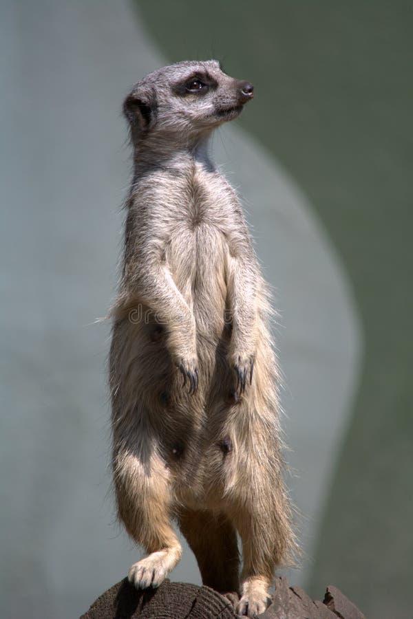 摆在象照片模型的Meerkat 免版税库存图片