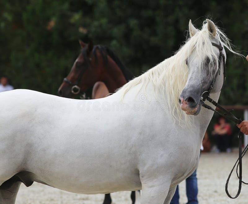 摆在马事件的美丽的匈牙利杂交的灰色公马 图库摄影