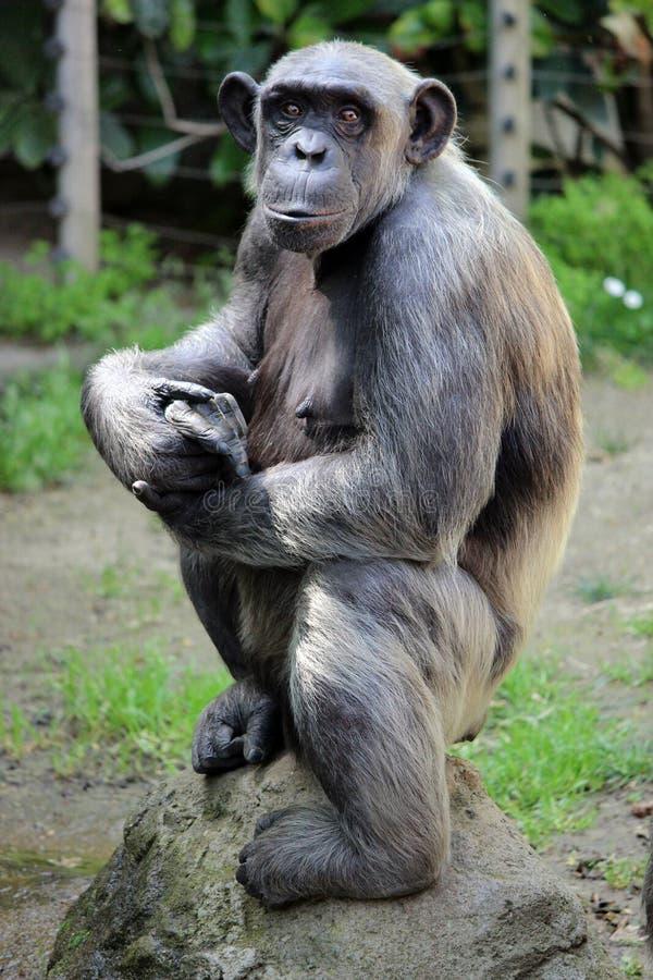 摆在黑猩猩 免版税库存图片