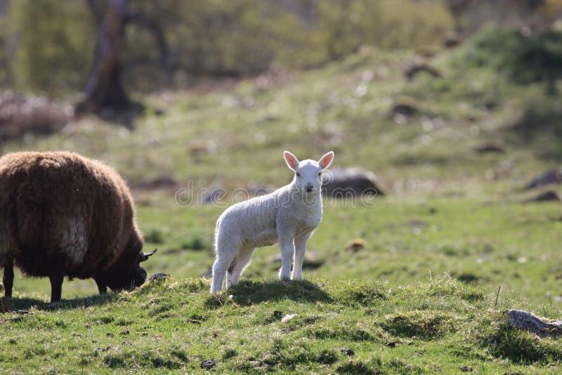 摆在Kilbraur附近的羊羔,苏格兰 免版税库存图片