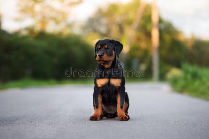 摆在Rottweiler的小狗户外 免版税库存图片
