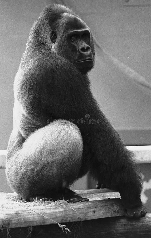 摆在silverback w的b大猩猩 免版税图库摄影