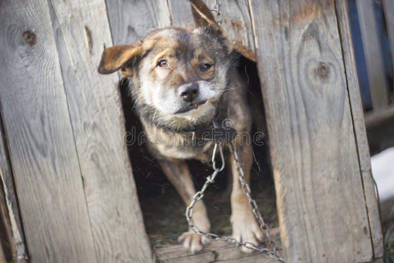 摇头的滑稽的狗在他的房子里 快动作照片 免版税库存照片