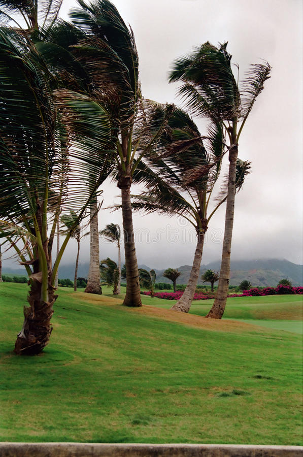 摇摆在微风的考艾岛棕榈 免版税图库摄影