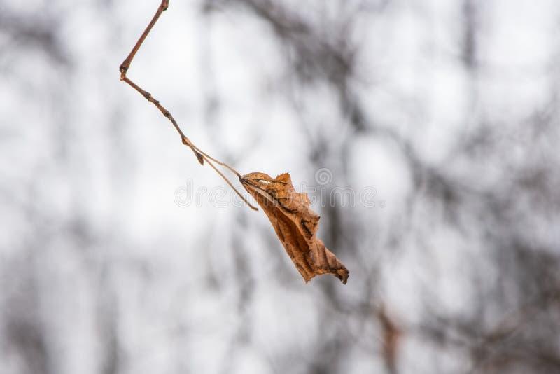 摇摆在风的偏僻的干燥叶子在冬天 免版税库存图片