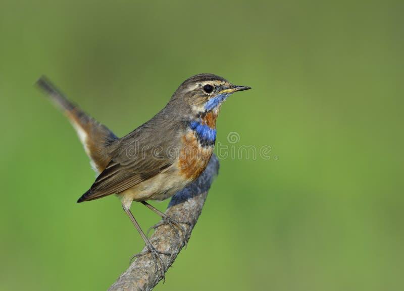 摇摆它的尾巴的美丽的蓝色鸟,当栖息在准备好的分支跳跃,蓝点颏& x28时;Luscinia svecica& x29; 免版税库存图片