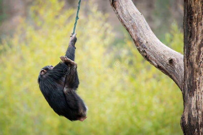 摇摆的黑猩猩 免版税库存照片