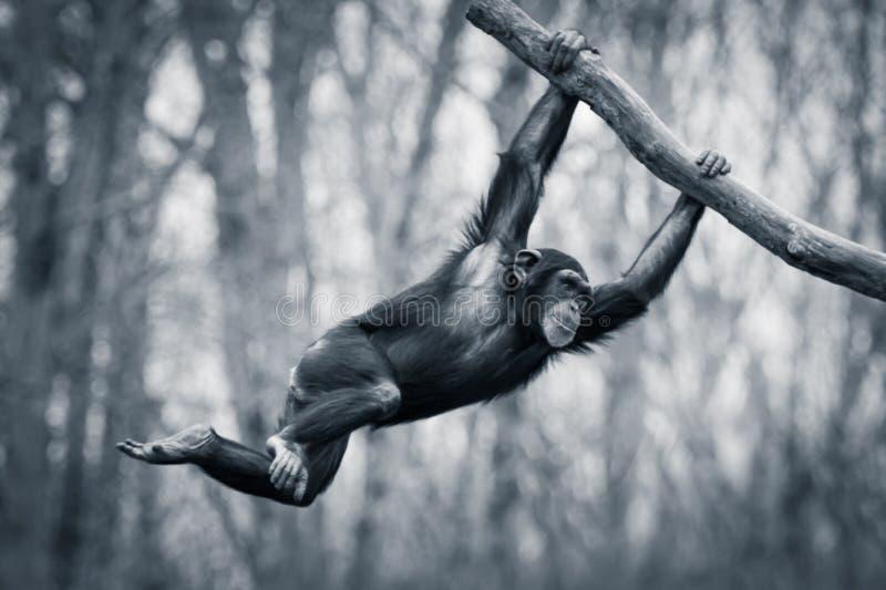 摇摆的黑猩猩III 免版税库存图片