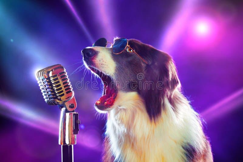 摇滚明星博德牧羊犬狗唱歌 库存照片