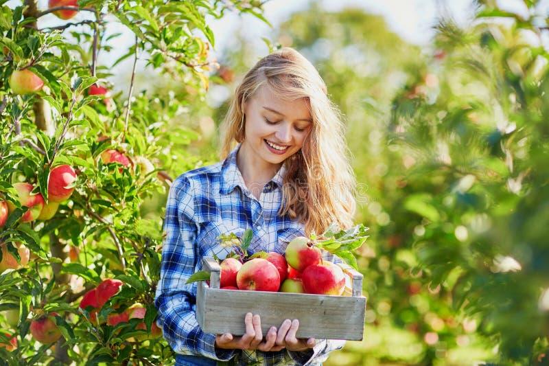 摘成熟有机苹果的美丽的少妇 库存照片