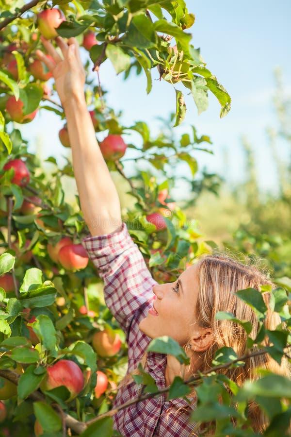 摘成熟有机苹果的美丽的少妇 免版税图库摄影