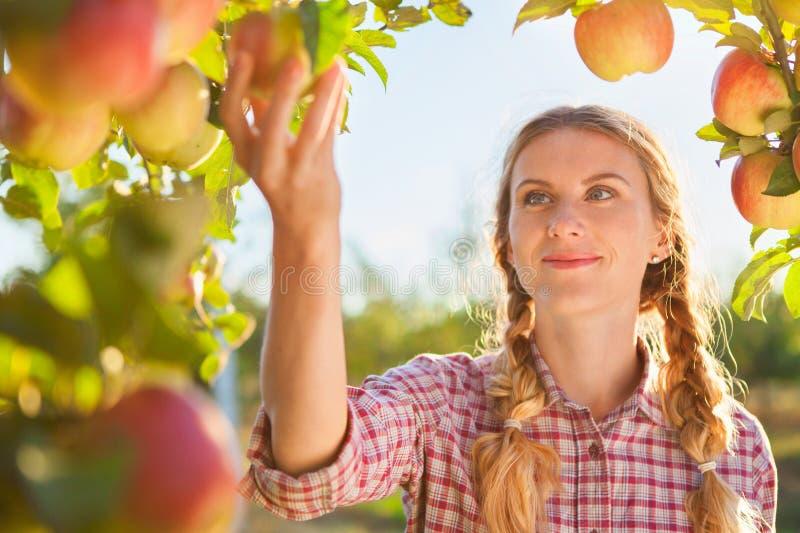 摘成熟有机苹果的美丽的少妇 库存图片
