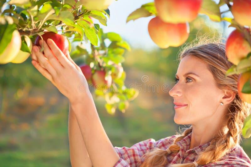摘成熟有机苹果的美丽的少妇 免版税库存图片