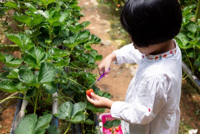 摘新鲜的草莓的亚裔矮小的中国女孩 免版税图库摄影