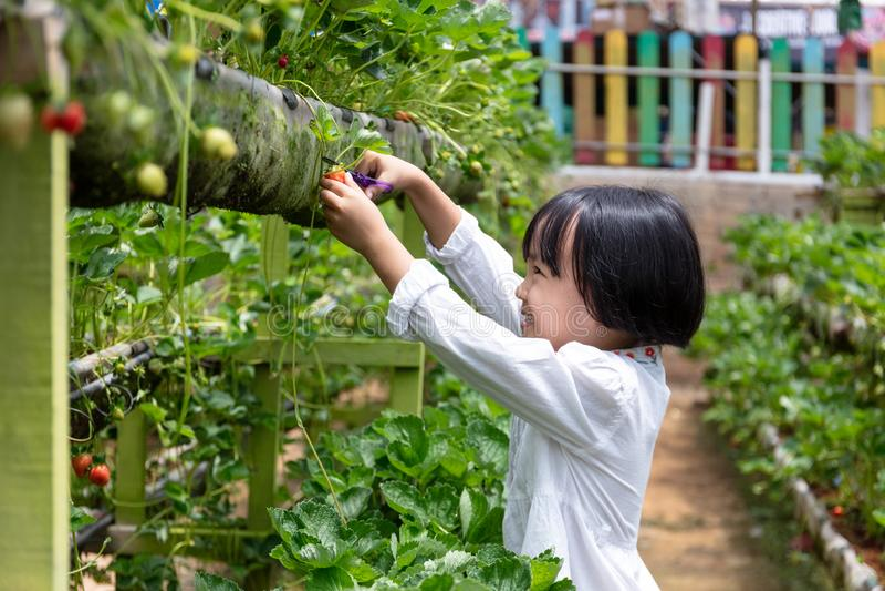 摘新鲜的草莓的亚裔矮小的中国女孩 库存照片