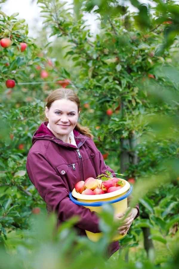 摘红色苹果的少妇在果树园 库存图片