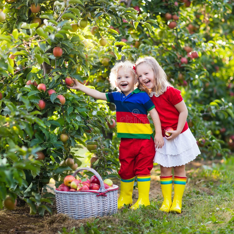 摘苹果的孩子在果子庭院里 免版税库存图片