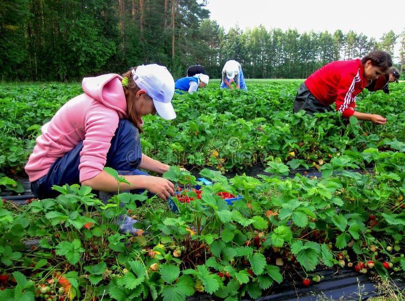 摘草莓的妇女季节工 图库摄影