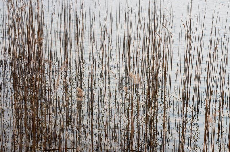 摘要、芦苇和反射在湖的水中 库存照片