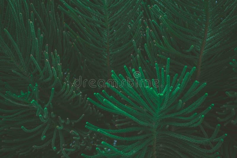 摘要自然深绿背景热带叶子,松树的叶子 免版税库存图片