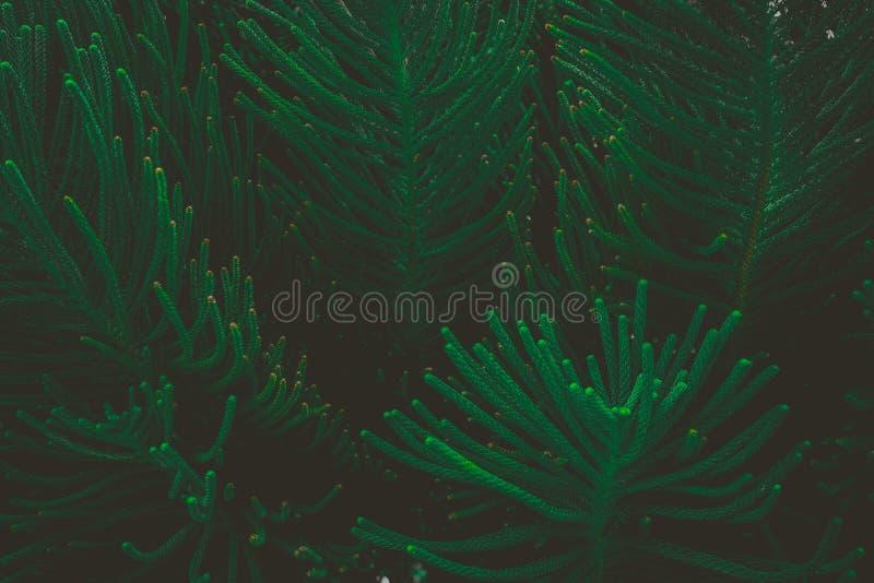 摘要自然深绿背景热带叶子,松树的叶子 免版税库存照片