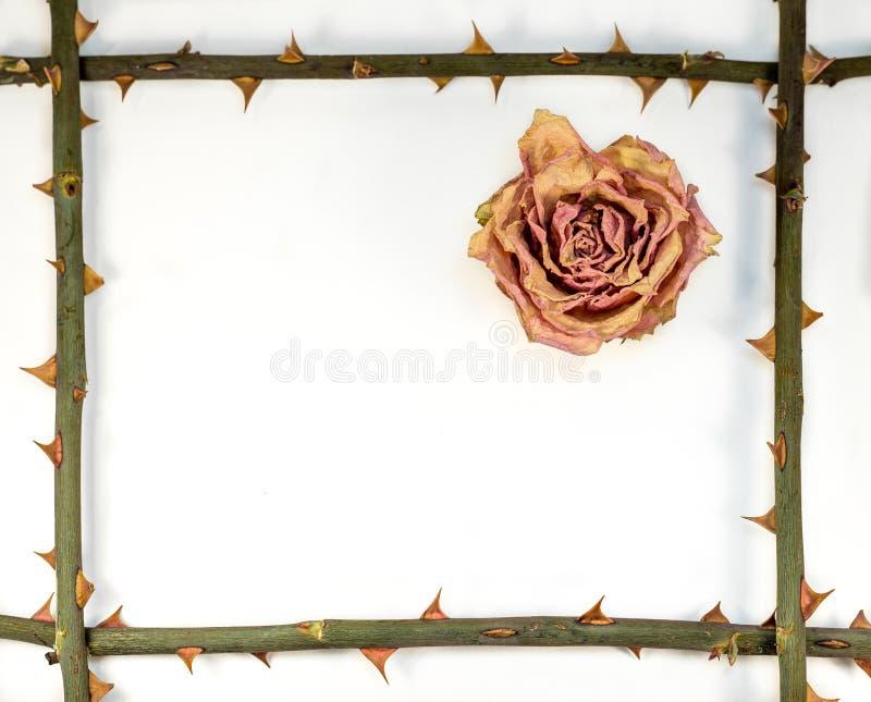 摘要-从词根的框架与刺ans烘干了玫瑰色 库存图片