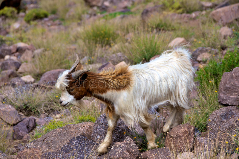 摩洛哥石山羊 库存图片