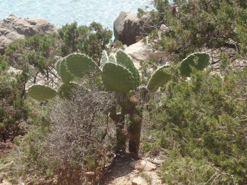 撒丁岛海岸的仙人掌植物 免版税库存照片