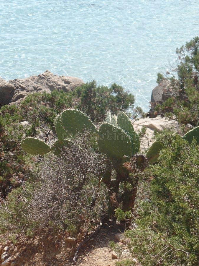 撒丁岛海岸的仙人掌植物 免版税库存图片