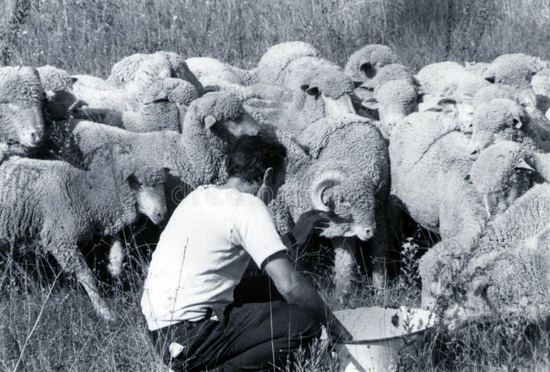 撒丁岛,意大利,1970年-一位撒丁岛牧羊人照顾仓促的他的群绵羊  库存图片