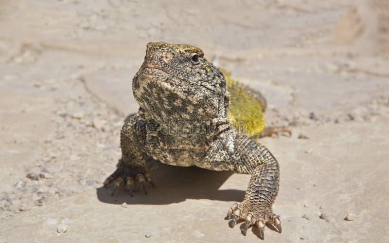 撒哈拉多刺被盯梢的蜥蜴,摩洛哥 图库摄影