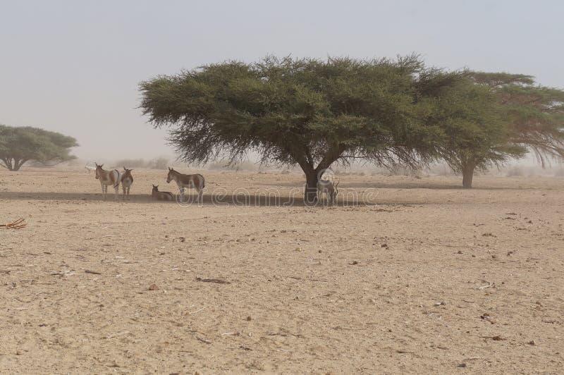 撒哈拉大沙漠羚羊短弯刀羚羊属羚羊属leucoryx和野生驴 免版税图库摄影