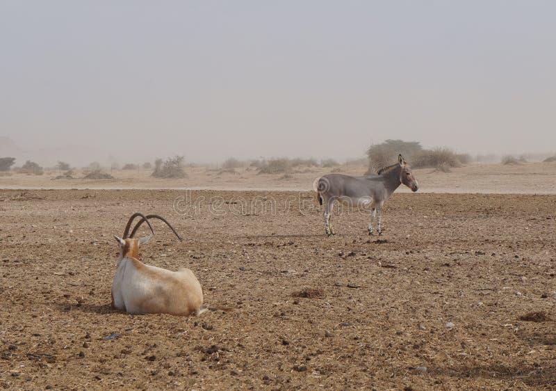 撒哈拉大沙漠羚羊短弯刀羚羊属羚羊属leucoryx和野生驴 库存图片