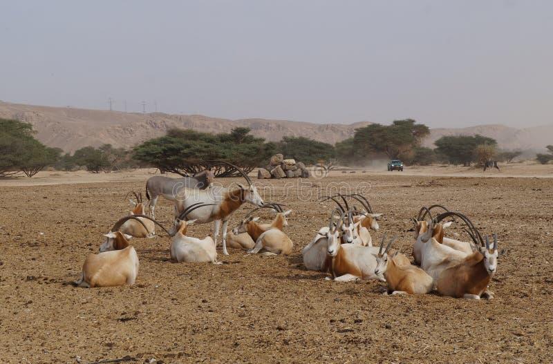 撒哈拉大沙漠羚羊短弯刀羚羊属羚羊属leucoryx和野生驴 图库摄影
