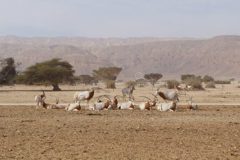撒哈拉大沙漠羚羊短弯刀羚羊属羚羊属leucoryx和野生驴 免版税库存图片