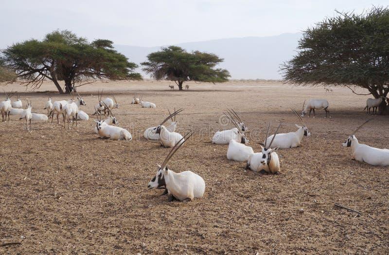 撒哈拉大沙漠羚羊短弯刀羚羊属羚羊属leucoryx 免版税库存照片