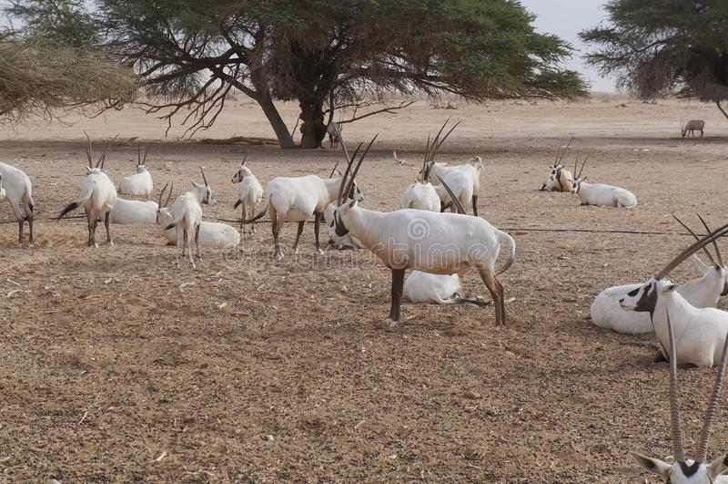 撒哈拉大沙漠羚羊短弯刀羚羊属羚羊属leucoryx 免版税库存图片