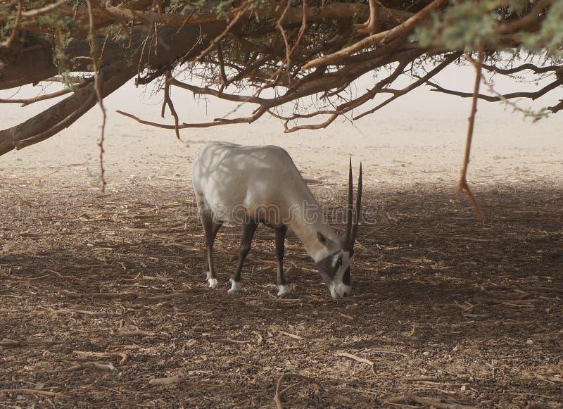 撒哈拉大沙漠羚羊短弯刀羚羊属羚羊属leucoryx 库存照片