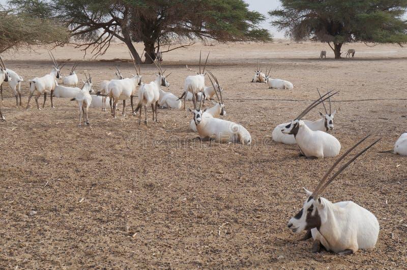 撒哈拉大沙漠羚羊短弯刀羚羊属 免版税图库摄影