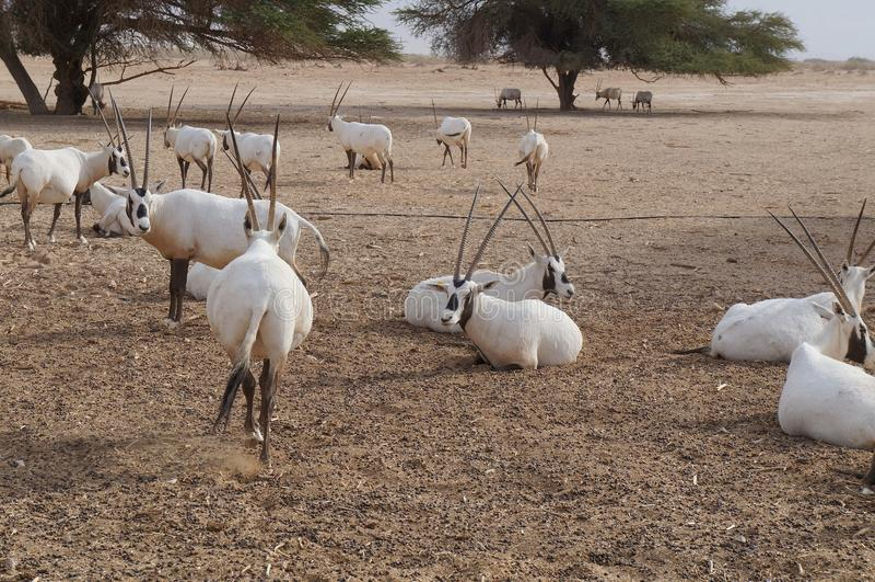 撒哈拉大沙漠羚羊短弯刀羚羊属 免版税库存图片