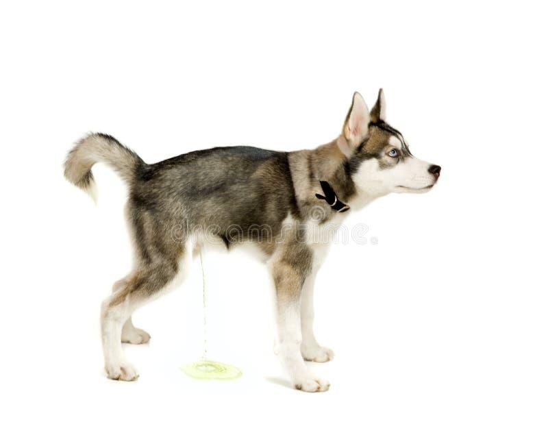 撒尿的小狗 免版税库存图片