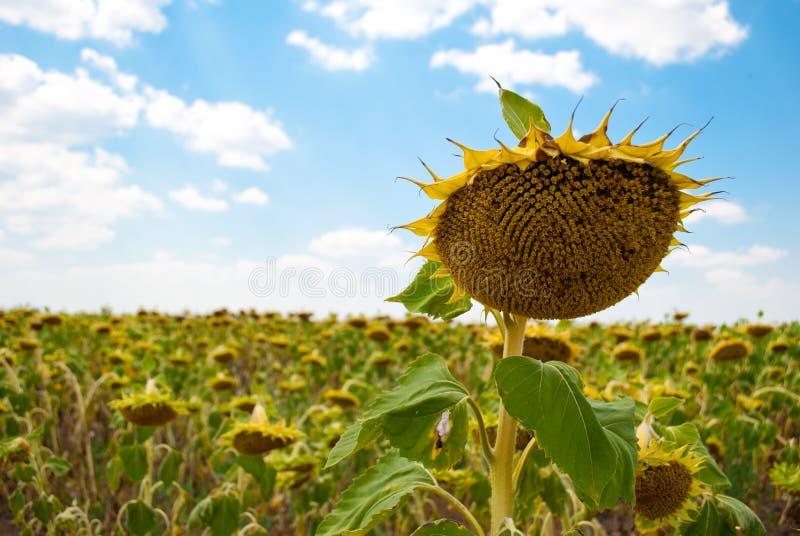 向日葵种子_播种向日葵成熟向日葵种子蓝天的领域与云彩夏日.