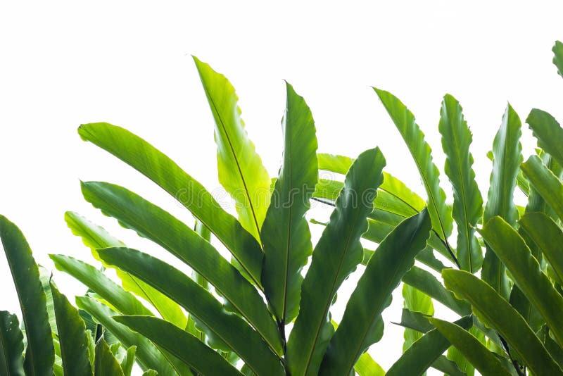 播种在白色背景的棕榈叶或香蕉事假 使用fo 免版税库存照片