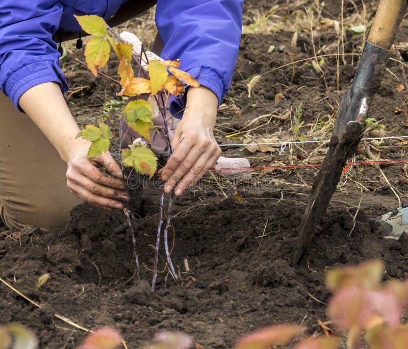播种小植物秋季庭院的农夫的手 库存照片