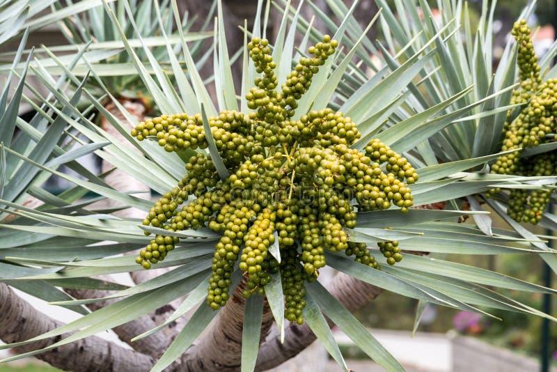 播种班加洛棕榈, Archontophoenix cunninghamiana头  免版税库存图片