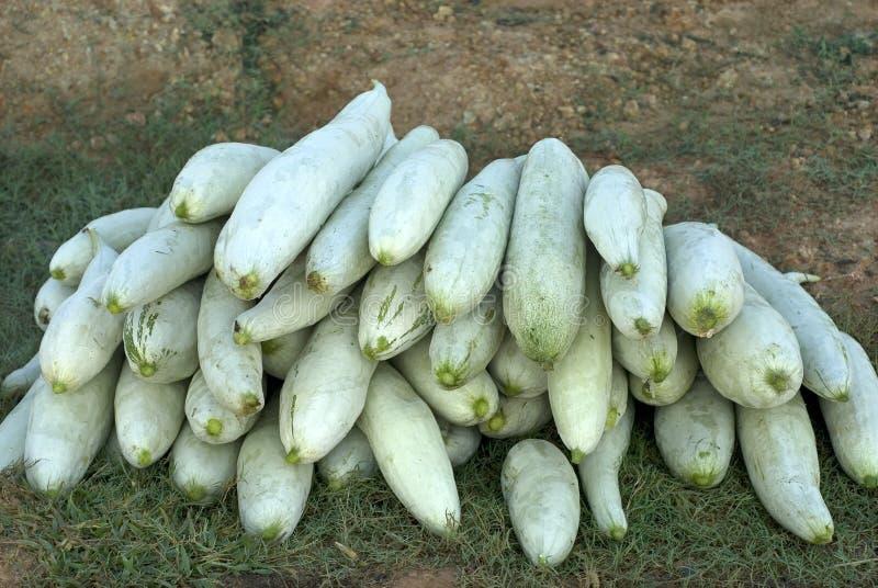 播种的菜蛇金瓜 库存照片